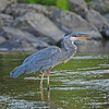 Tension: Heron with Mouthful, Launching Great Blue Heron, ETC., 8-18-13 : Dynamic tension often occurs in wildlife photos. So do surprises. I discovered the minnow in the heron's mouth when uploading the image to the computer.  The image of Nora the Schnauzer running across Bennington Lake Dam with the found barn owl head in her mouth was pure luck. So was snapping the passing Kingfisher with a fish in its beak along Mill Creek. And the child appearing to caress the neck of a open-jawed sea otter is a trompe l'oell or deceive-the-eye image. She's watching the otters with her hand on the see-through tank wall at the Oregon aquarium in Newport.