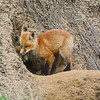 Red Foxes, Highway 12, 5-1-14 : The pair of red foxes watched Highway 12 traffic zip past from a den no more that six feet from the pavement. We passed and turned around to watch and shoot, with the driver's window down, barely off the road from near the opposite barrow pit. The danger to the kits felt palpable. Later, I  brightened some eyes with Elements 12.