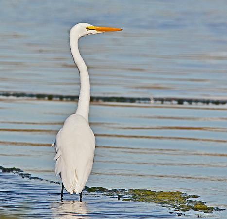 Great White Egret, Columbia Park, 10-14-15