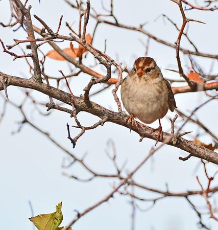 King Fisher, Sparrow,  Downy Woodpecker, Preening Goose, 9-18-15
