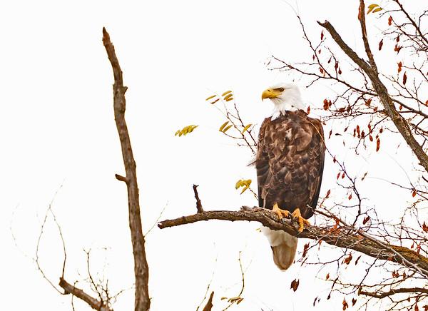 McNary Birds, 11-18-15
