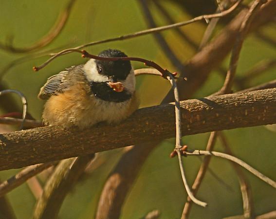 Mill Creek Birds in February, 2-16-15