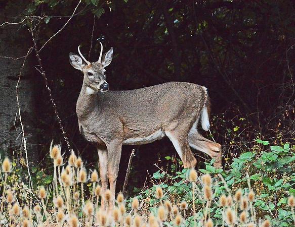 Mill Creek Egret, Turkey and Deer, 10-5-15
