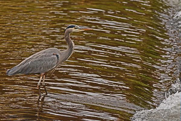 Mill Creek Heron, Hooded Mergansers, 11-13-15