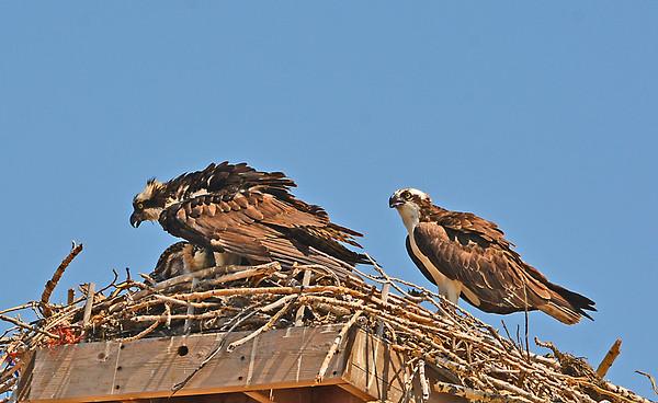 Osprey Feeding, Shading Young in Sun-blasted Nest, 7-6-15