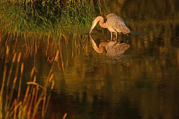 Great Blue Heron, Morning at Mill Creek, 7-31-15