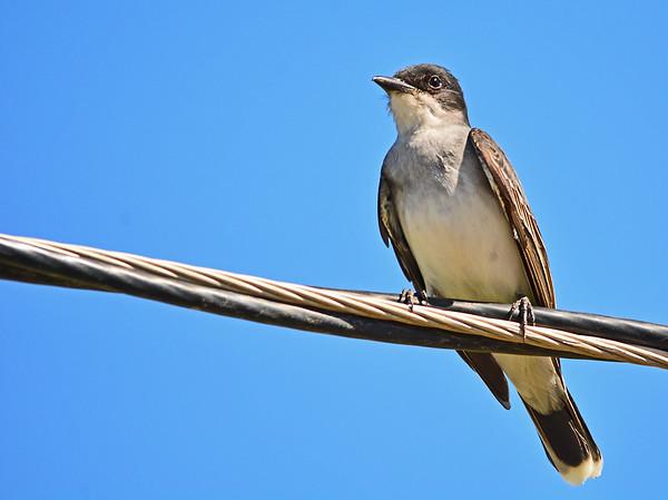 McKay Creek Pheasant, Dove. 6-6-15
