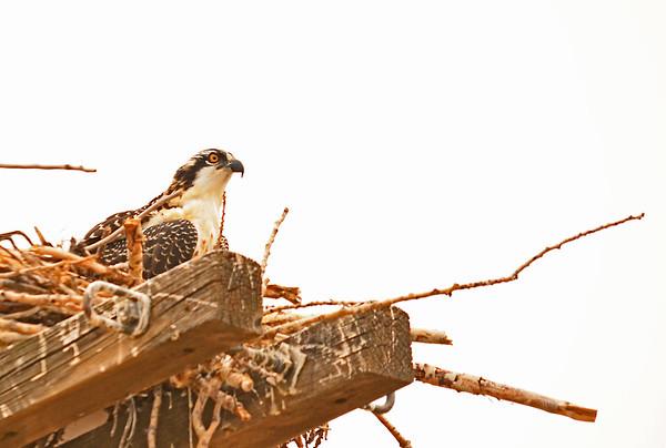 Burbank Osprey Leaving Nest ?, 8-3-2015