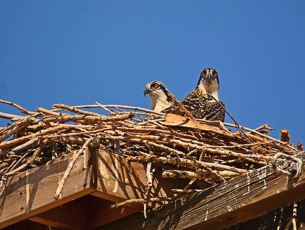 Burbank Osprey Nest, Continued, 7-27-2015