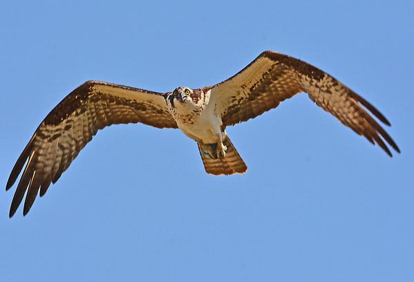 Osprey, Frog, Meadow Lark and two raptors, 8-20-15