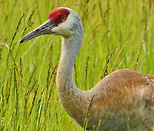 Cranes, Osprey at Ladd Marsh Wildlife Area, near La Grande, 5-24-15
